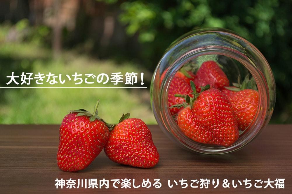大好きないちごの季節!神奈川県内で楽しめる いちご狩り&いちご大福