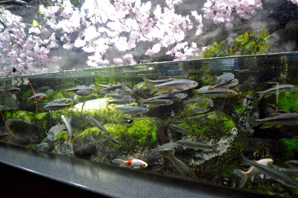 満開の桜と魚たちの競演を楽しんで♪