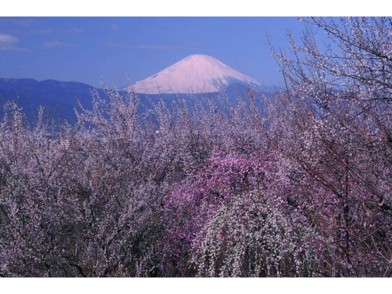 梅や桜を愛でながら。今年もみんなで行こう、神奈川の春のお祭り