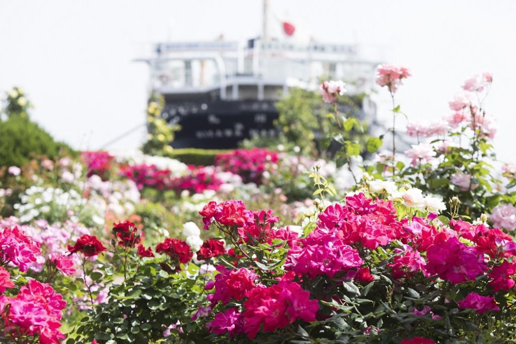 港を彩る美しいバラをYouTubeにて自宅にいながら満喫!