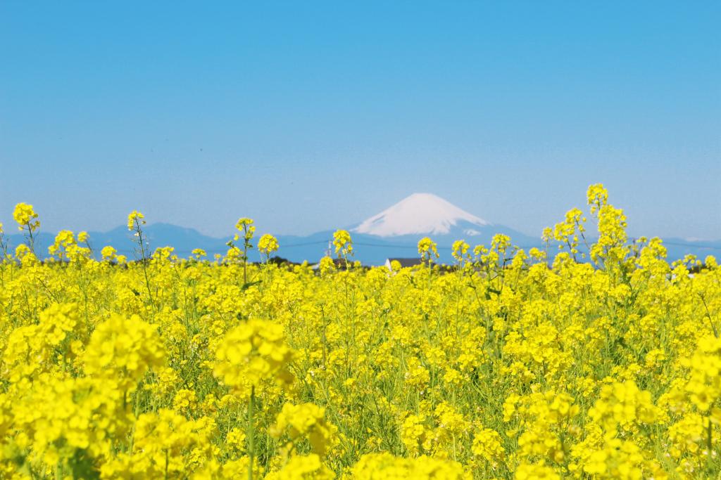 約10万本の菜の花と富士山・相模湾の絶景が楽しめる!