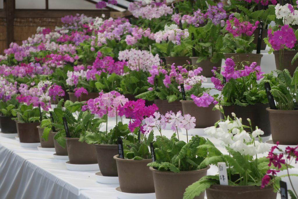 小さな鉢の中に咲く紅色や純白色の可憐な花を約150点を展示