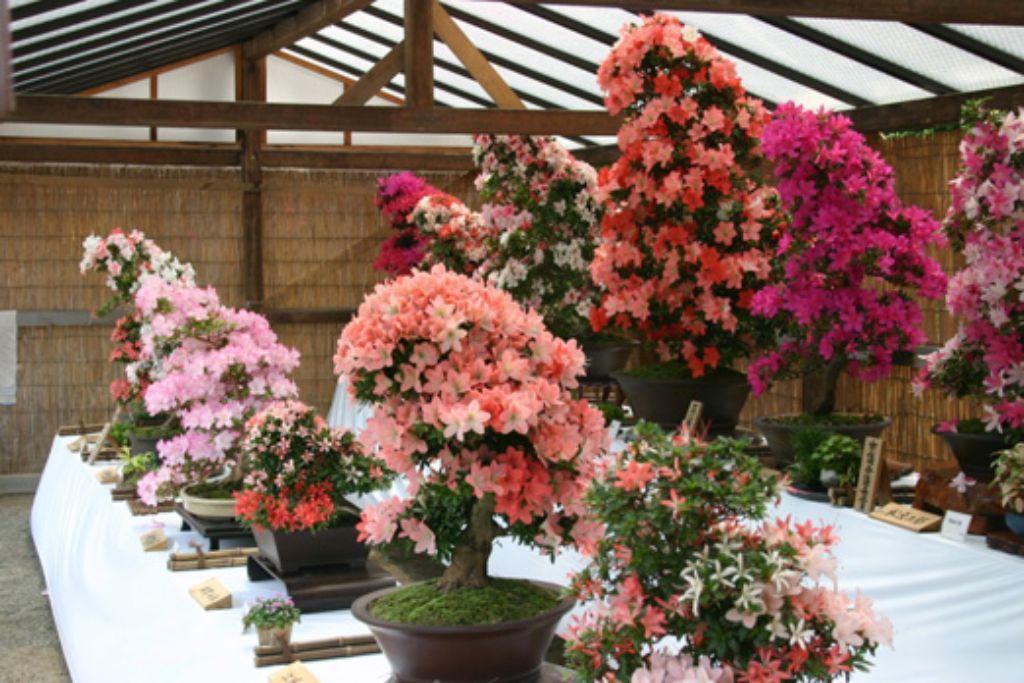 樹齢数十年のさつき盆栽などの約100点を展示