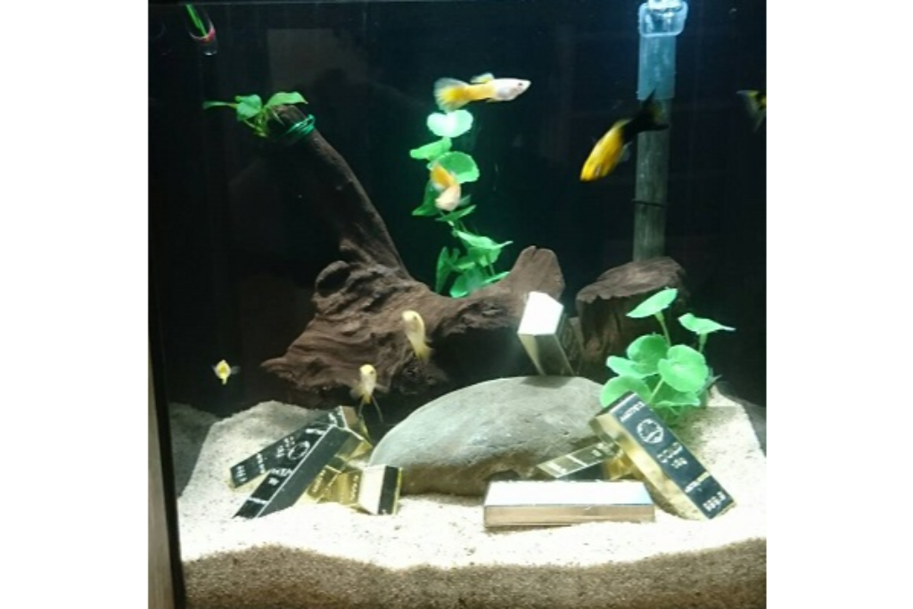 GWにちなみ、ゴールドカラーの淡水魚を集めた水槽を展示