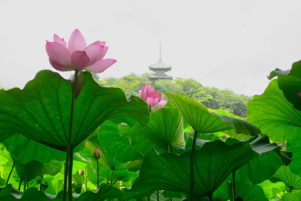【満員御礼】三溪園の学芸員とともに、園内に秘められた蓮をめぐります